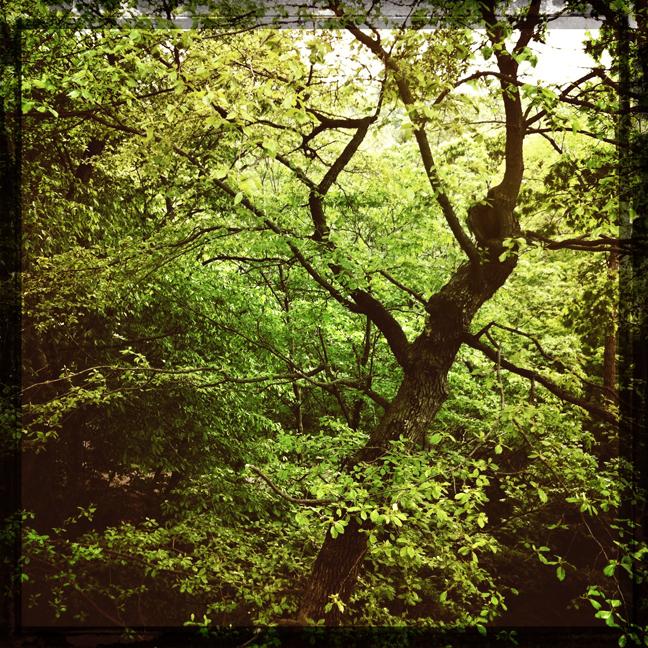 morris arboretum, trees, kaplan, green