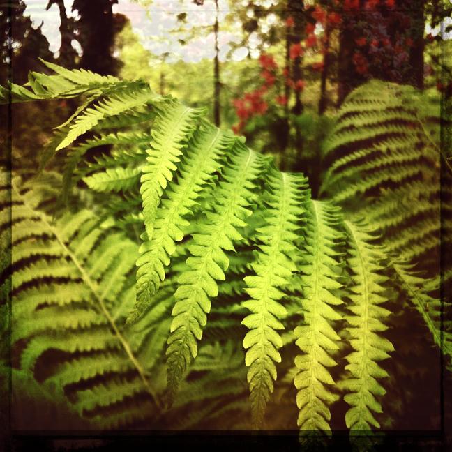 fern morris arboretum, trees, kaplan, green